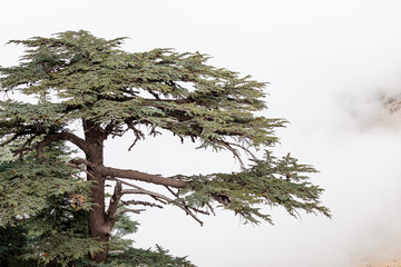 Cedar of Lebanon forest in the mist and fog near Tahtali mountain in Turkey. Rare and endangered species of trees