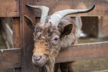 brown adult goat
