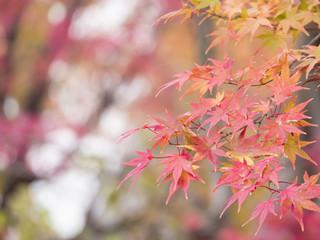 Maple leaf, Autumn leaves 2