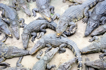 Cluster of reptiles, Siamese Crocodile, on the ground.