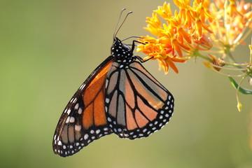 Monarch butterfly on orange milkweed.