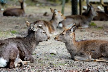 Deers at Nara park, Japan.
