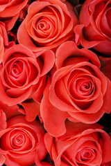 Red natural roses background close up