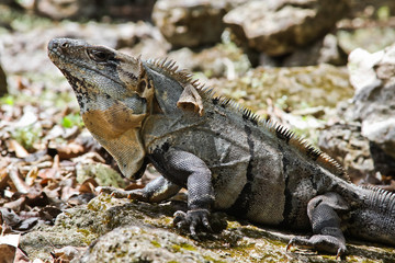 Iguanas of Mexico, easily found all over the island of Cozumel