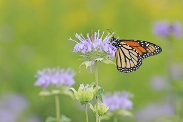 Monarch on purple bergamot.