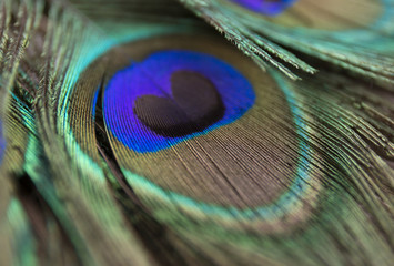 Beautiful peacock feathers. Close up green and blue blur background. Macro defocused pattern.