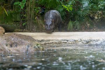 Hippopotamus in the rain.