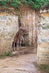 Giraffes in the park.