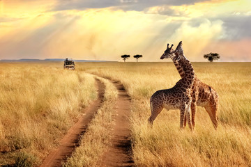 In de dag Afrika Group of giraffes in the Serengeti National Park on a sunset background with rays of sunlight. African safari.