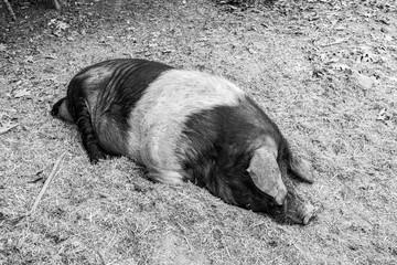 Pig of Cinta Senese