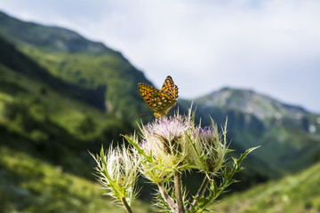 Beautiful butterfly on a flower. Mountain valley. Summer. Tourism.