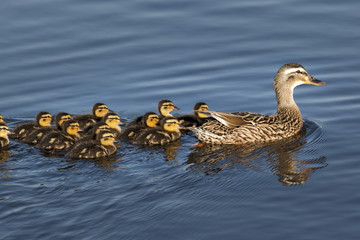 Duck with 13 Ducklings