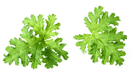 fresh rose geranium leaves isolated on white