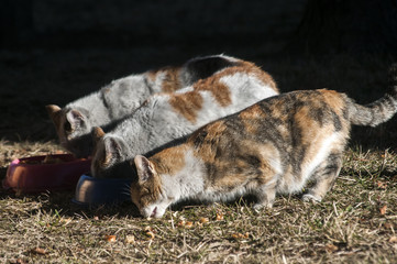 Three motley street cats feeding together on meadow on sunny winter day
