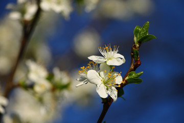 Spring blossom on pear tree with blue sky in background