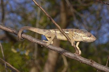 Pantherchamäleon (Furcifer pardalis) - Panther chameleon / Madagaskar