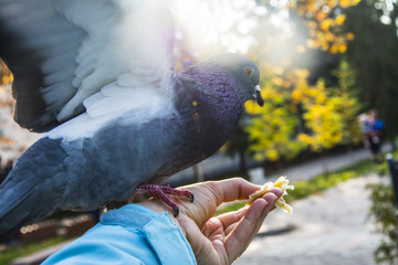 Pigeons. A girl is feeding from the hands of pigeons in the park.