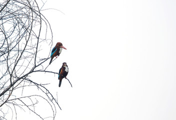 A pair of White-throated Kingfisher at Sultanpur bird Sanctuary, India