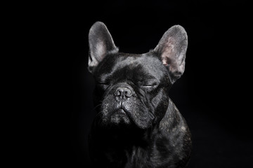 Black French Bulldog with close eyes on the black background