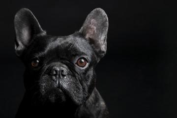 Black French Bulldog gazing sadly on the black background