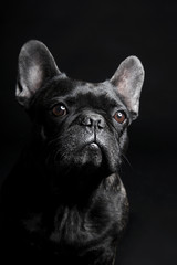 Foto op Aluminium Franse bulldog Black French Bulldog waiting and looking on the black background