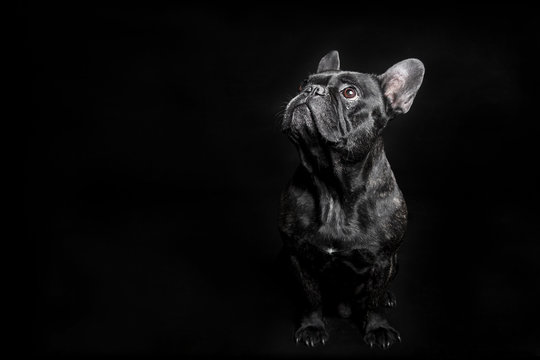 Black French Bulldog looking up, begging on the black background