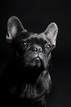 Black French Bulldog waiting and looking on the black background