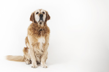 Sitting old sad dog Golden retriever isolated on the white background