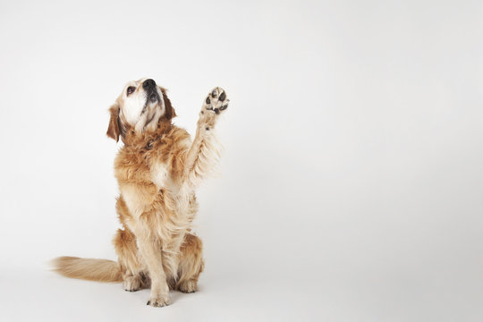 Golden retriever is sittng and greeting