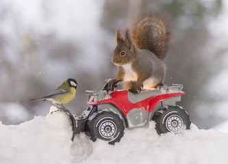 Red squirrel and great tit with Quadbike