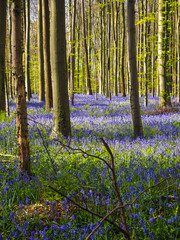 Early morning sun beams shining through the beech woodland illuminating the vibrant purple bluebell carpet, Hallerbos, Belgium