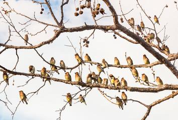 Cedar Waxwing Birds Resting. A flock of Cedar Waxwing birds resting amongst bare tree branches.