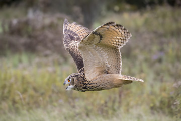 Fototapete - Eurasian Eagle Owl