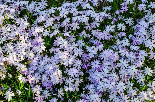 Blossoming phlox in forest