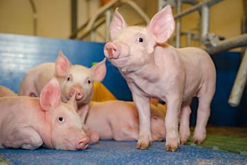 Schweinezucht - entspannte Ferkel im modernen Schweinestall