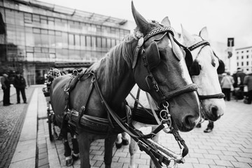 Travel to Germany. A walk along the center of Berlin. Beautiful horse harnessed to a cart