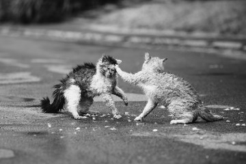 Street cats are fighting on the street. Orange and white gray wet cats are fighting on the road. Aggressive animals