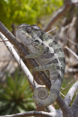 Pantherchamäleon (Furcifer pardalis) - Panther chameleon / Nationalpark Montagne des Français / Madagaskar