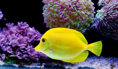Yellow Tabn -  Zebrasoma Flavescens