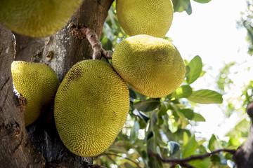 Fruta da Jaca ainda na árvore
