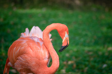 Isolated Pink Flamingo Looking Right