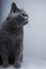 Portrait of Beautifu funny domestic gray British cat