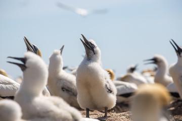 Gannet chick