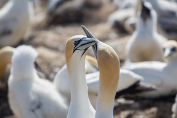 Gannets greeting each other
