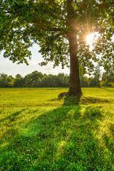 Oak tree on green grass at sunset