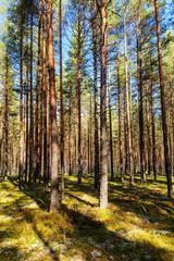 pine forest on a sunny day