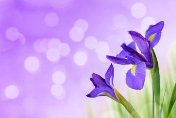 Water drop on spring iris flowers on purple background.
