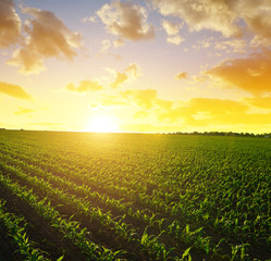Spring rural landscape with green corn field in the sunset.