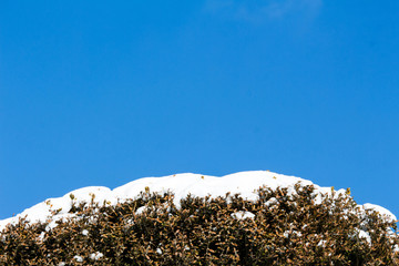 Snow on Bushes with Blue Sky