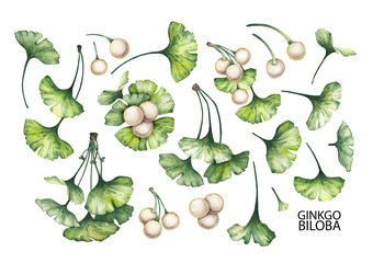 Watercolor ginkgo biloba branches